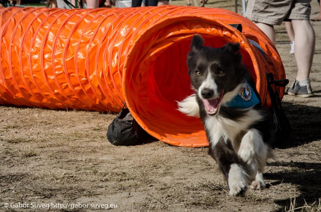VOLT 2014 / agility bemutato / 7 © Gabor Suveg