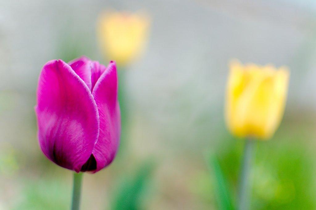 121  / 2013 - tulip  © Gabor Suveg
