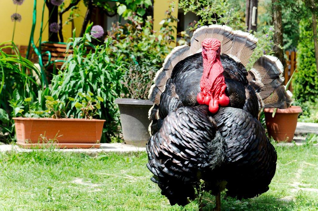 147 / 2013 - Bronze turkey © Gabor Suveg
