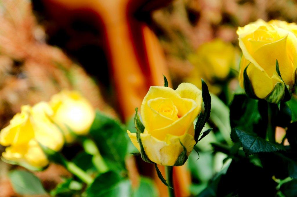 207 / 2013 - roses © Gabor Suveg